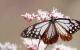 旅する蝶・アサギマダラ