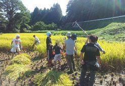 10月12日稲刈りを実施