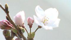 九州で最も遅く〝サクラ開花〟